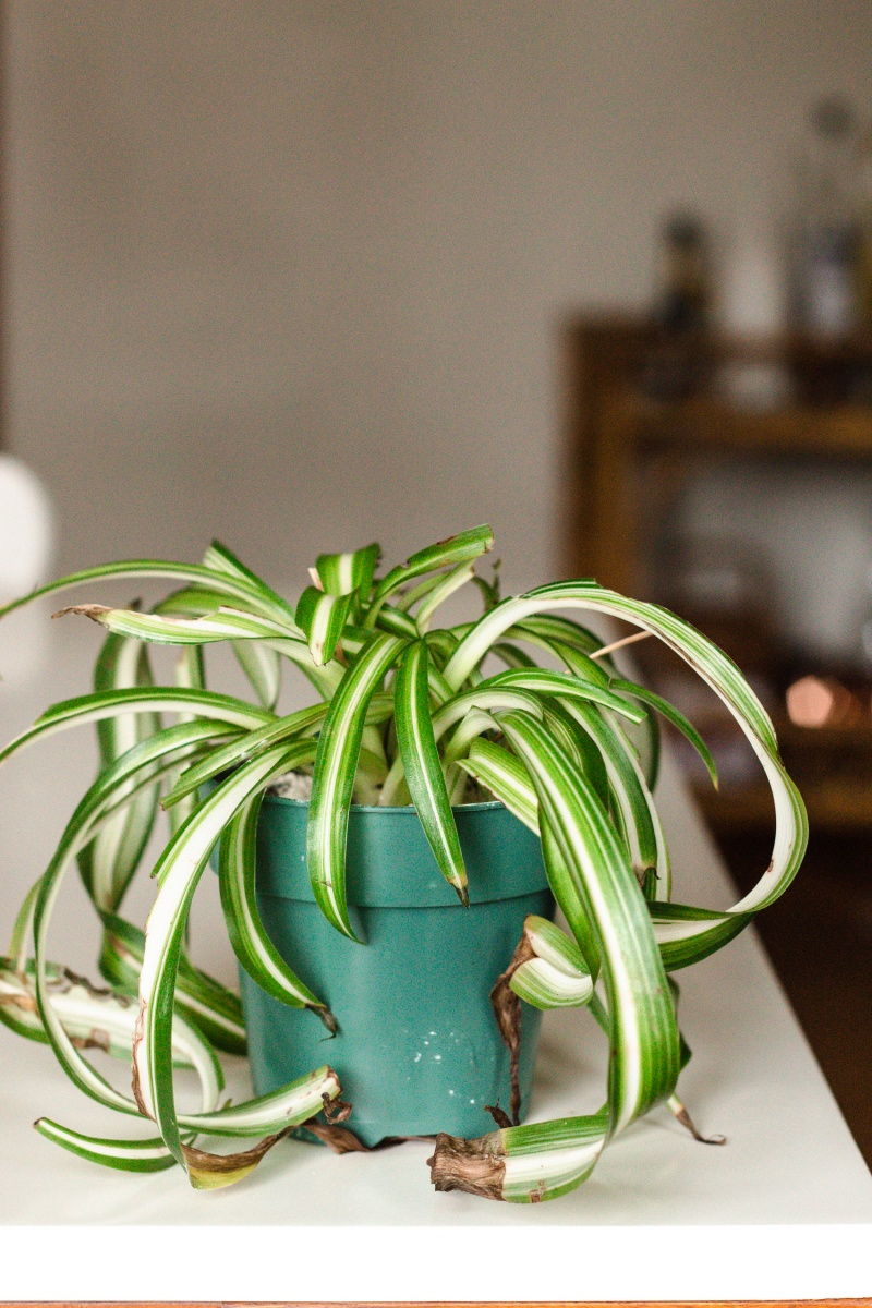 spider plant in blue pot